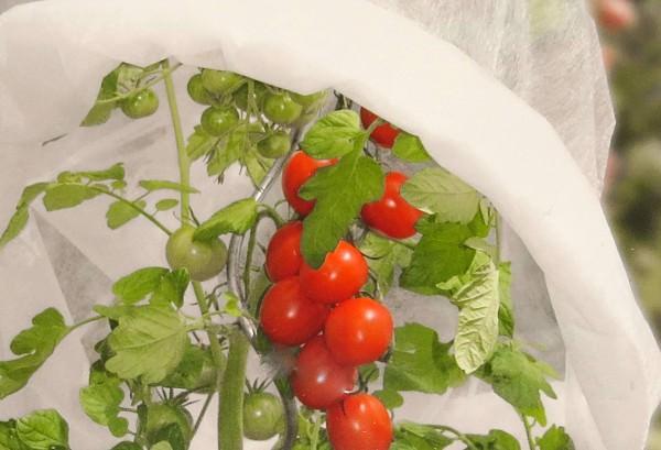 Tomatenvlies Paprikavlies